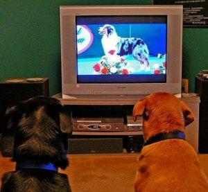 chiens devant télé 1