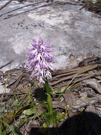 "Orquídea ""Orchis italica"""