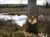 The sap is still running on this tree! log image
