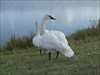 BCP310: very mellow swans