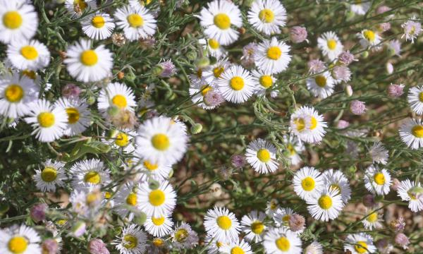gcehtf nm flora  fleabane traditional cache in new mexico, Beautiful flower
