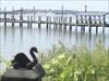 Silent Swan in Holland, MI