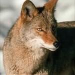 Konza Coyote