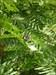 #476 Limenitis reducta[.][Pitões-Cap.S.João-cache#
