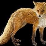 Red Desert Fox