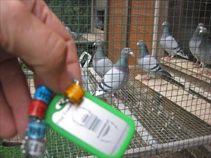 5 racing pigeon rings from Austria