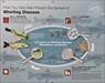 Whirling Disease story board