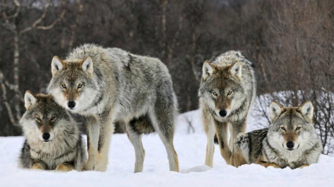 Čtyři vlci ve smečce, každý jinde kolem cesty. (Ale možná i jen jeden či dva kořist uloví.)