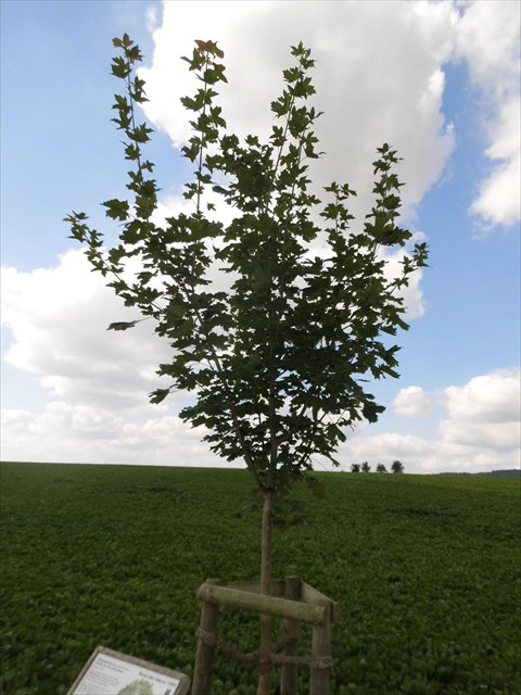 GC69H00 der Spitzahorn - Baum des Jahres 1995 (Mystery Cache) in ...