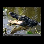 Swampbilly