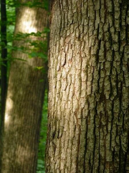 Kokosovske duby