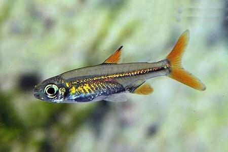 TB4FMKX) Travel Fish Geocoin - Jelly Bean Tetra