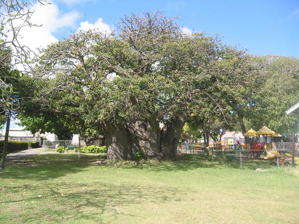 Image result for baobab tree barbados