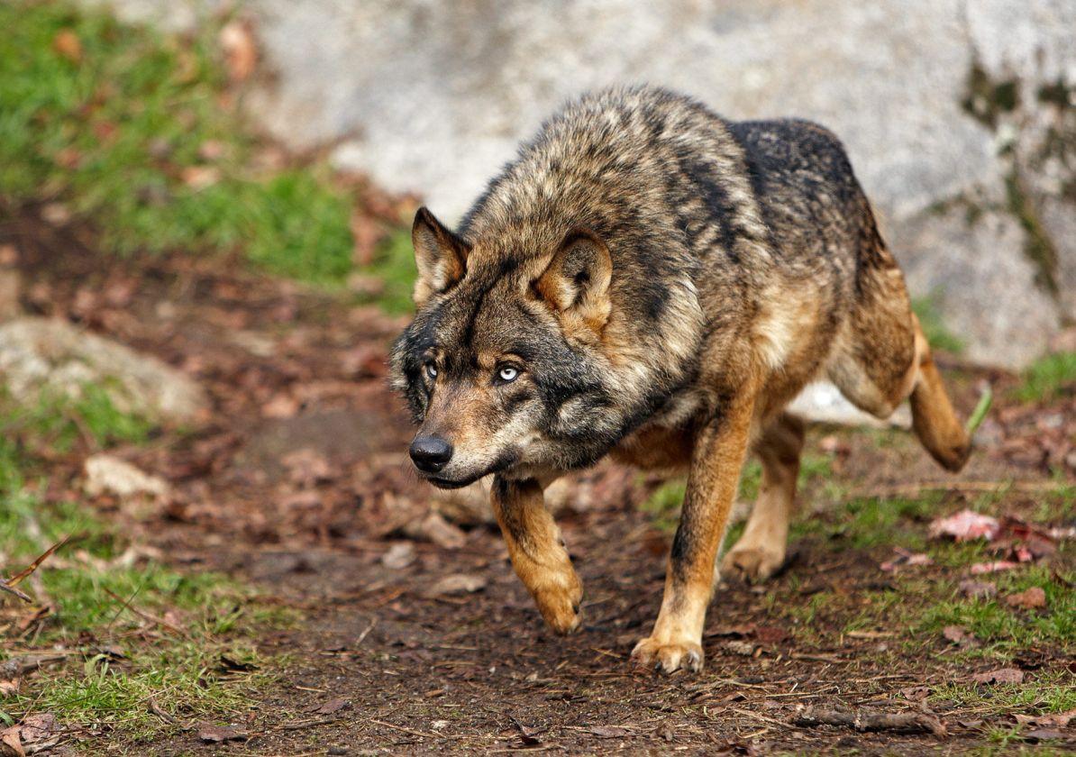 Foto de lobo