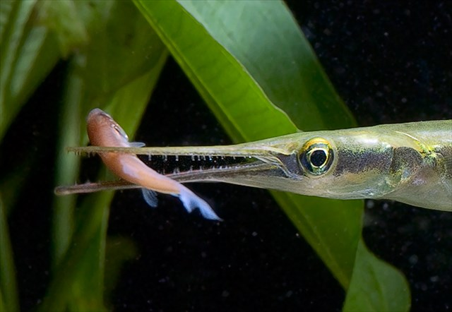 GC4DB6D Needlefish, A fish of the Ocklawaha (Traditional Cache) in ...