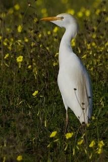 Garça-carraceira (Bubulcus ibis)...