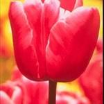 Red.Tulip