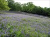 Bluebell Filled Field