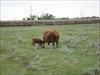 Red Poll cow and calf