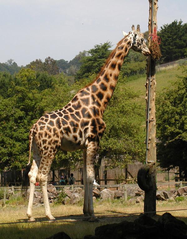 zirafa v zoo