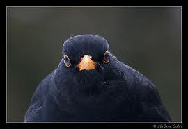 avatar de merle noir