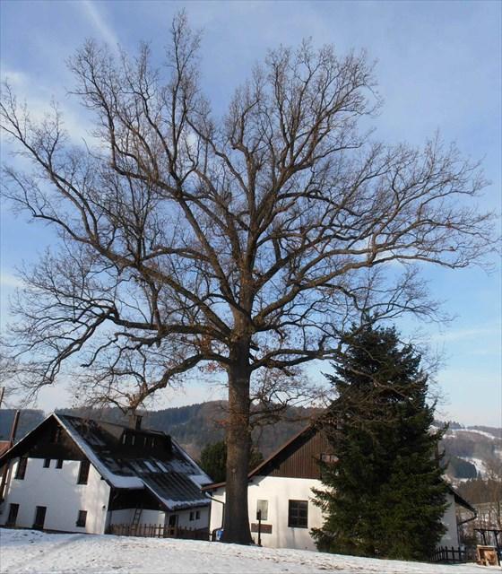 DUB pamatny strom