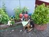 Ein deutscher Schäferhund, erkennt man an der Nase
