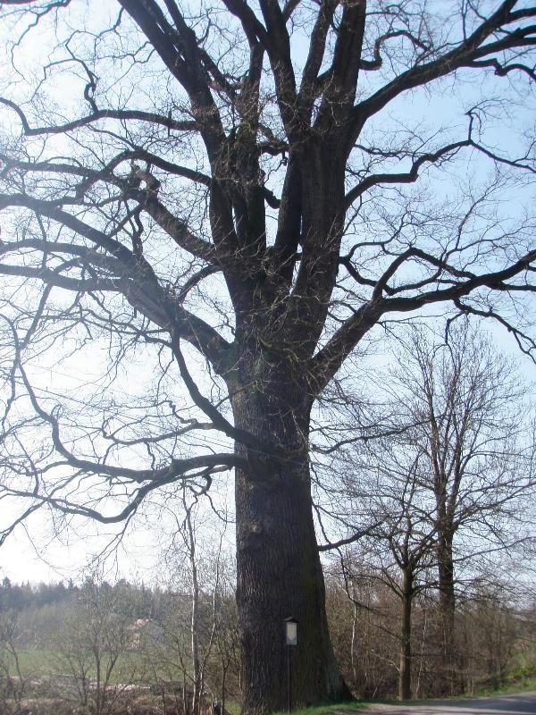 Památný dub