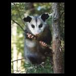 Possum Posse