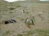 Pingüinos cerca de Punta Arenas
