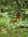 #625 Meliteaea phoebe[.](Núpcias-bater de asas com