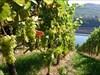 Wein in Luxemburg