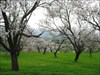Amendoeiras em flor-2