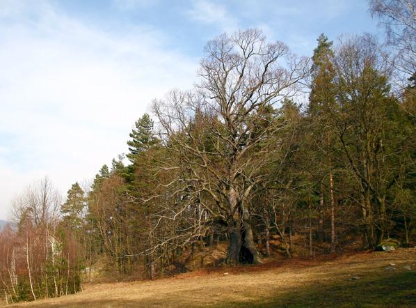 Lešišovská lípa na konci zimy