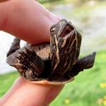 Turtle_Sask