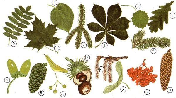 Blätter und früchte von bäumen