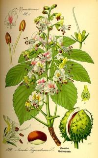 Aesculus hippocastanum na botanickém listu