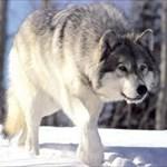 T!mberwolf