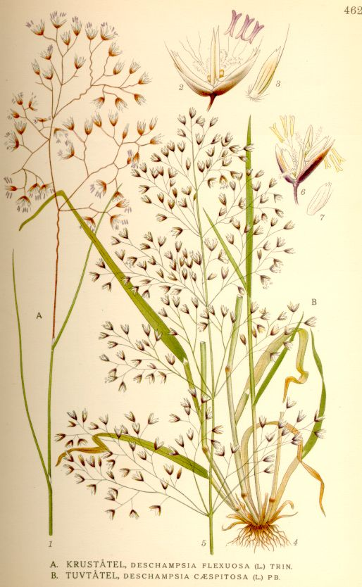 Deschampsia flexuosa. Illustration by Carl Axel Magnus Lindman, c 1920.