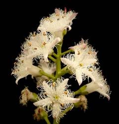 Vachta trojlistá (Menyanthes trifoliata)