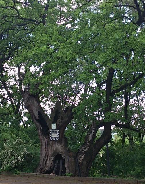 Grunewald Oak