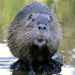 beaver_looking_camera.jpg