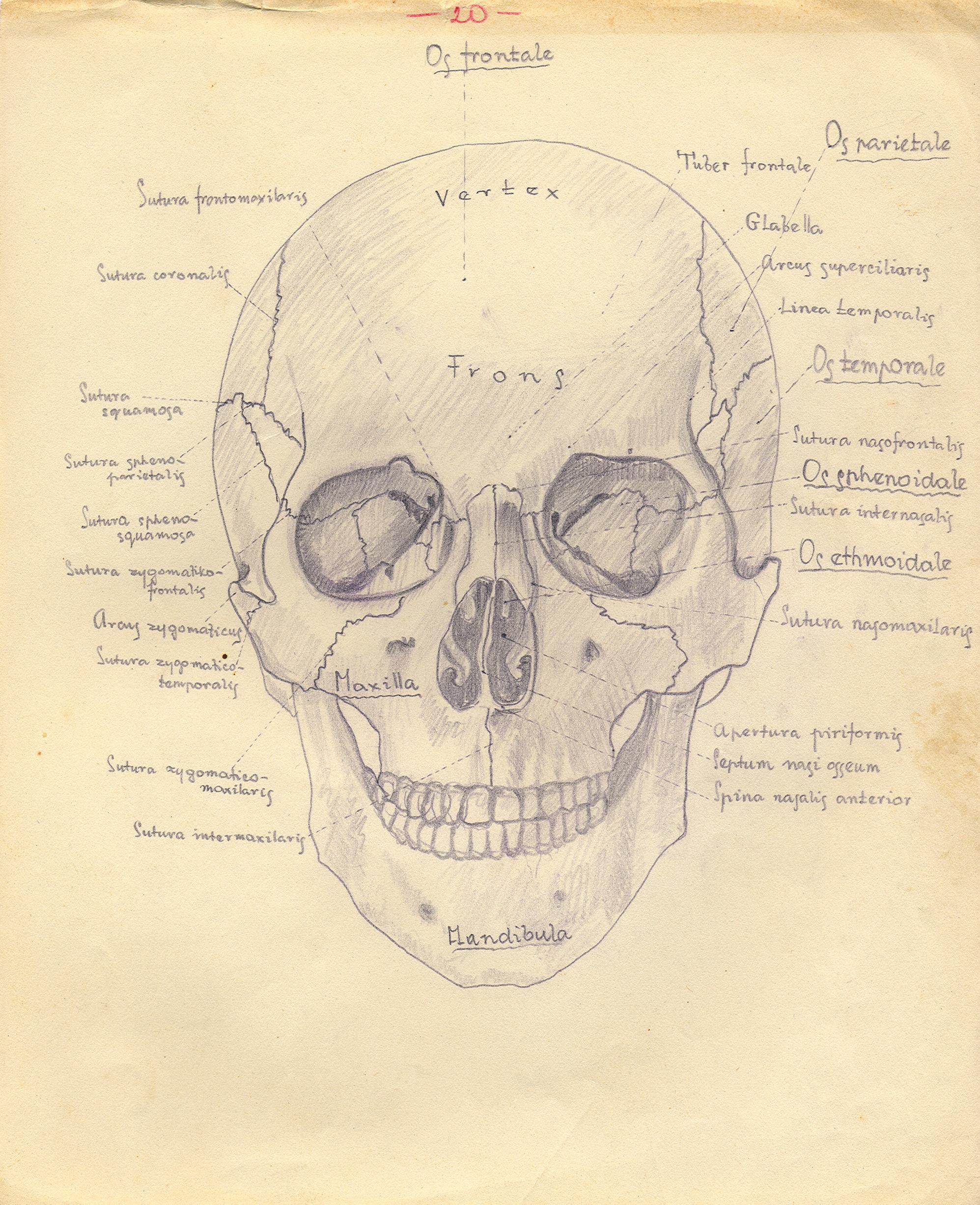 Anatomie lebky