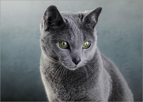 06a5a7f31 ... ruského přístavu Archangelsk (od toho původní název archangelská kočka).  Vyniká svojí neobvyklou krásou a to nejen díky jednobarevné stříbřitě-modré  ...