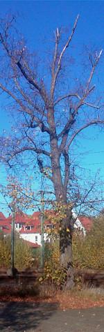 Baum auf dem Bahnsteig zu Gleis 1/10