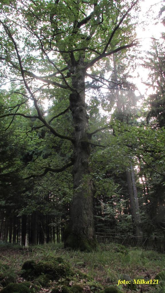 dub v létě