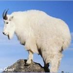 mtn_goat