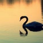 Swan-of-Avon