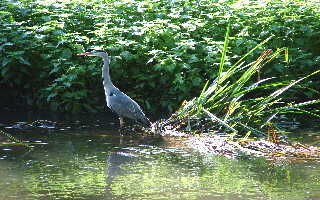 One of a pair of Heron on the Blackwater