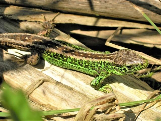 Sameček ještěrky zelené